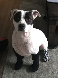 Breanna Collins' American bulldog named Beau.