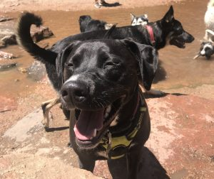 Monica's black lab, Abby, pictured smiling outside with other dogs.