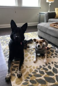 A large black german shepherd and a small jack russel terrier mix sit next to each other on a patterned carpet.