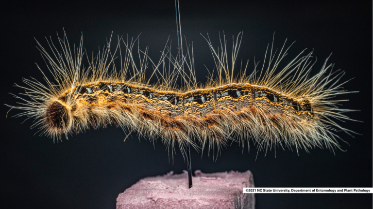 An eastern tent caterpillar with long hairs and a bright orange and black body.